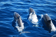 Indonesien - Insel Flores - Dolphins in Maumere Bay