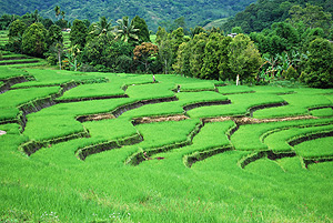 Rice fields on Flores between Moni an Ende