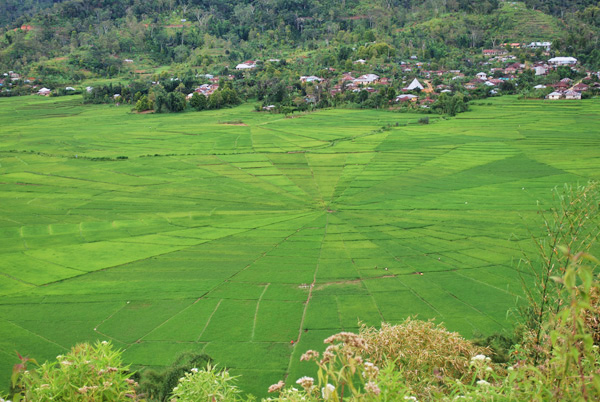 spider Rice fields near Ruteng