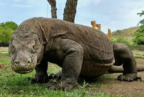 Komodo National Park - Komodo Warane - Komodo Tour Package - Indonesien